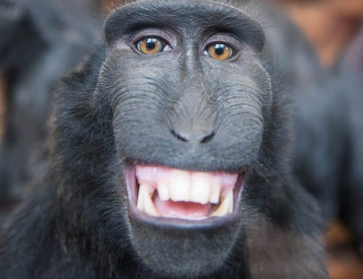 SWNS Pictures of the Year 2015 - One hundred of the most compelling images on the SWNS wire this year as chosen by our picture editors.Pictured - The very happy macque smiles straight into the camera of Bob Hadfield, at Chester Zoo. See South West copy SWSMILE.A cheeky monkey took time out of its day to pull a massive smile for a stunned photographer. The black crested macaque gave Bob Hadfield a massive grin while on a trip to Chester Zoo. But while the handsome macaque smiles for his photo in his relaxed surroundings, it is a far different experience in the speciesà natural habitat. Bob Hadfield / Ross Parry Agency