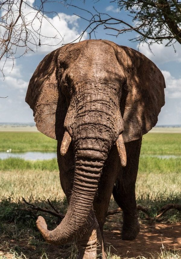 The elephant comes out after hiding. See Masons copy MNHIDE: This is the cute moment a huge bull elephant tried and failed to play hide and seek with a photographer. Ramona Reichert snapped the playful giant trying to conceal his vast five-tonne frame behind a tree in Tarangire National Park in Tanzania. The 36-year-old saw the spectacle while out on safari, she and her husband Ivo Schemionek where watching a family of elephant cows and calves at watering hole before the male arrived.