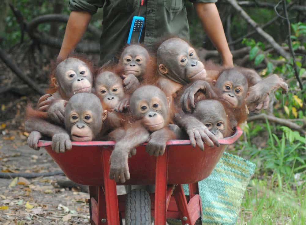 Heartwarming pictures show the baby Orangutans in a wheelbarrow going to their school classes on how to survive in the wild in Indonesia.The little youngsters are taught the skills which should have been gained from their mothers at International Animal Rescue's school in Indonesia. Their adorable school run shows up to eight of the little ones huddled up while being wheeled to the 'baby school'. Orangutans usually spend seven to eight years with their mother and learn the skills they need to survive.