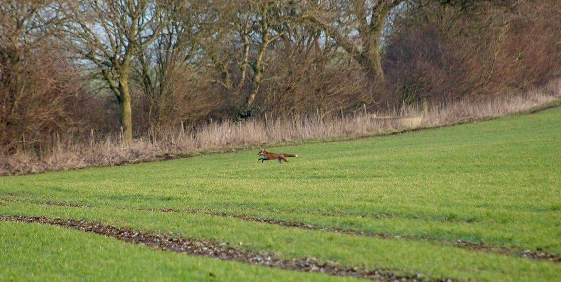 """The fox running away from the huntsmen.  This is the extraordinary moment a Tory councillor appears to try and silence claims he was illegally hunting a fox by telling a female activist: """"I'd quite like to SHAG you.""""  See SWNS story SWHUNT.  Middleton hunt master Charles Carter, 33, is filmed telling the woman that she is """"very pretty"""" before requesting her number and asking: """"Can I take you to bed please?""""  The young Breckland Council member made the remarks after being challenged by activists during a meet of the Middleton Hunt, North Yorks.  Police confirmed they are investigating the incident and constituents and animal rights activists have since called for Carter to resign or be sacked."""