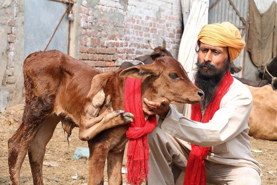"""A farmer has been offered £2,400 for his cow by a cult after it was born with five legs - and SEVEN FEET. See SWNS story SWCOW: Abhinav Abrol, 24, has been inundated with visitors hoping to see the two-day-old calf which is apparently fit and healthy - despite the extra limb. Worshipers think the cow - a sacred animal in the Hindu religion - is a """"lucky charm"""" and one """"cult"""" has offered him 200,000 rupees for the animal, local sources said. But Mr Abrol from Ludhiana district in Punjab, India, has refused to sell the baby cow which has a fifth leg next to its neck - which has three extra feet."""