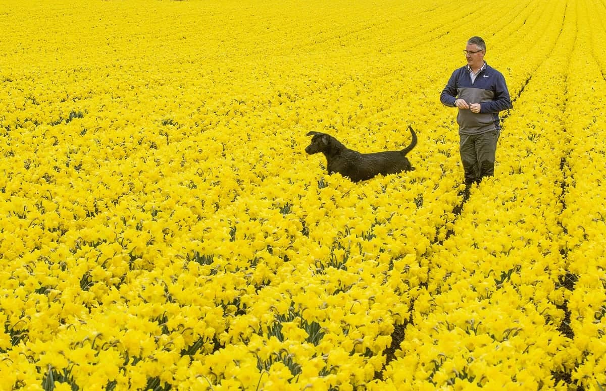 """Mark Clark with Baxter the dog playing in a field of thousands of colourful daffodils at Grampian Growers in Montrose, Angus, which brighten up the landscape. March 28 2017. See Centre Press story CPBLOOM; Stunning photos have shown a daffodil field as the UK enjoys a sunny spell at the beginning of spring. Grampian Growers in Montrose grow around six million daffodils and those stems are now being prepared to be lifted in June after being planted two-and-a-half years ago. The yellow flowers cover an area of 1000 acres and managing director Mark Clarke, 52, said the plants will soon be picked and sold. He said: """"Of the six million stems we grow, around half will be exported to the US. The other 50 per cent will be split between mainland Europe, Scandinavia. """"We also sell a lot to supermarkets in the UK."""""""