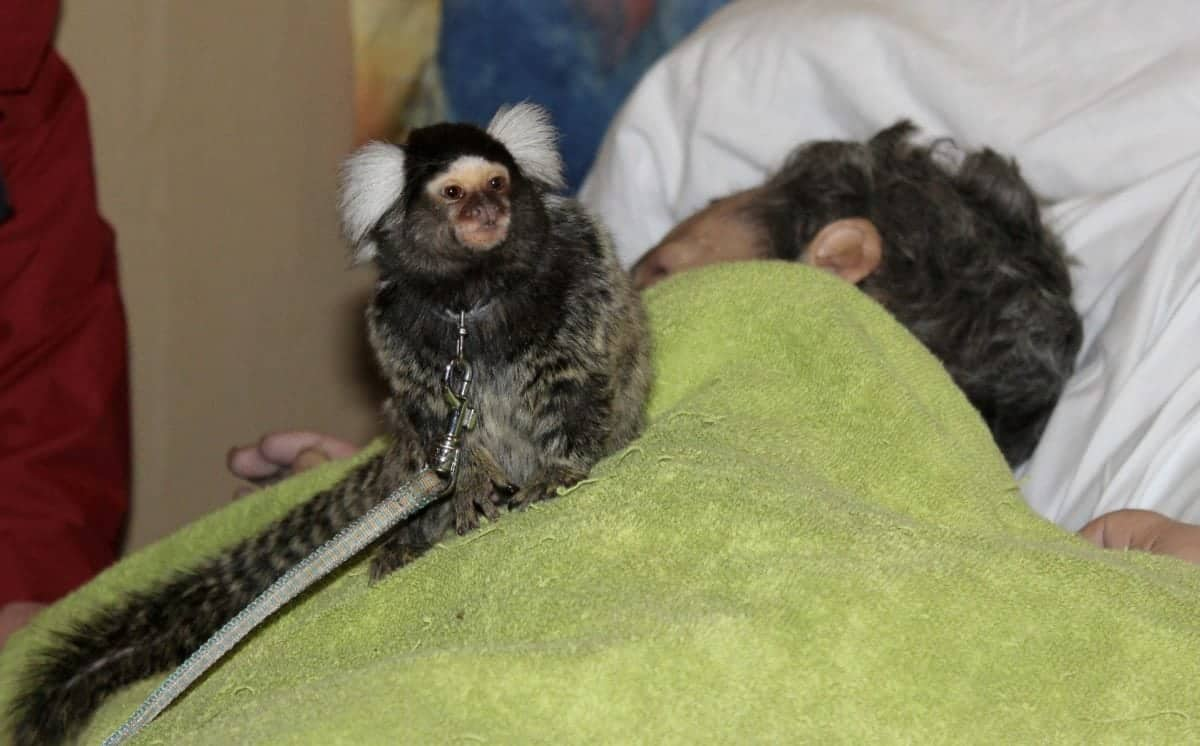 The marmoset with Ian Cadman at Wigan and Leigh Hospice. See Ross Parry story RPYMONKEY; A dying cancer patient spent his final hours with one of his favourite animals after a hospice arranged a visit - from a pet MONKEY.Monkey-mad Ian Cadman, 58, who owns over 800 cuddly replica toys of the tree-swinging creatures, met two-year-old marmoset Millie on his final day on earth. His declining ill-health meant staff at Wigan and Leigh Hospice, Grt Mancs., couldn't carry out their surprise visit to nearby Knowsley Safari Park for him.