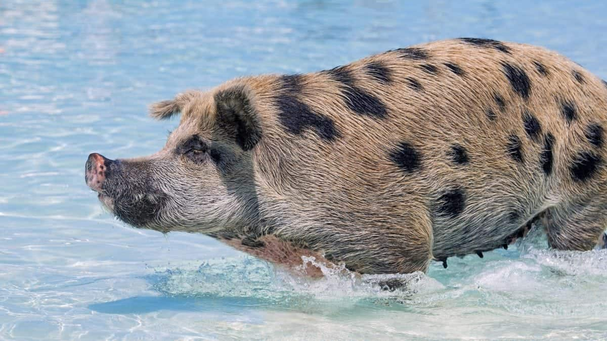Swimming pigs on the island of Exuma in the Bahamas.  See Masons copy MNPIGS: As temperatures soar across the UK these adorable shots show a group of pigs cooling off by swimming and frolicking in crystal clear water. The fun snaps, were taken by photographer Emmanuel Keller, 39, in the Bahamas at its famous 'Pig Beach' last month. This is on the island of Exuma which is uninhabited by humans but takes its unofficial name due to the colony of pigs that lives there.