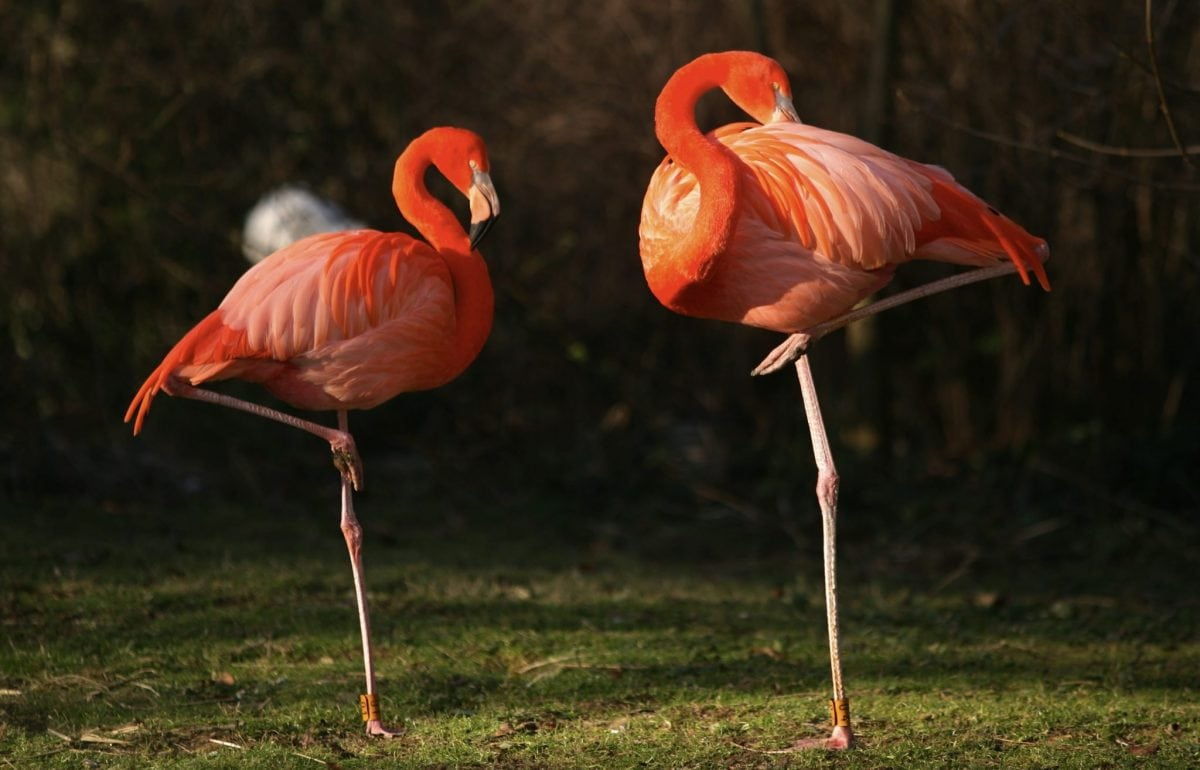 Stock photo of flamingoes each standing on on leg. See National News story NNPINK: A flamingo stands on one leg because it takes less effort than using two, according to new research. It is possibly the animal kingdom's most iconic pose and the reason for it has remained one of the greatest mysteries in nature. Now, in the first study of its kind, scientists reckon they have come up with a simple solution. The famous long necked pink bird with stick like legs, which at five feet tall is among the biggest on Earth, would risk toppling over if it didn't!