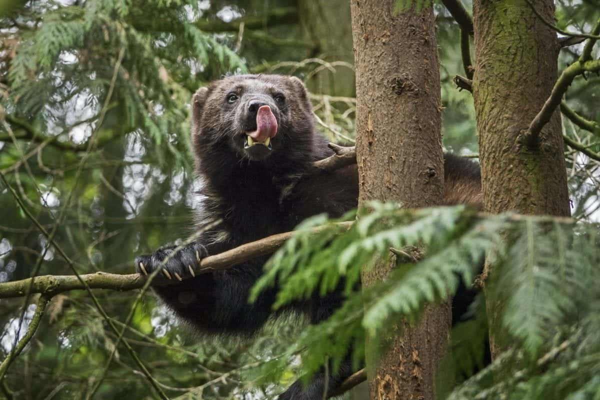 Incredibly rare shots of a wolverine were taken by photographer Sam Hobson on the Sony RX10 III, which features an extended 600mm super-telephoto zoom lens and silent shutter capability, to ensure the endangered animal was not disturbed. Sony has worked with a number of award winning nature photographers to capture some of the mammals and birds on the IUCN's (International Union for Conservation of Nature) 'Red List' - which highlights species across the globe at risk of extinction. This spring across Europe UK photographer and finalist in the Wildlife Photographer of the Year 2014 and 2016 Sam Hobson, award-winning Finnish wildlife photographer Lassi Rautiainen, Spanish nature photographer Javier Alonso Huerta, Swiss wildlife photographer Markus P. Stähli and nature photographer Gustav Kiburg captured stunning imagery of these animals in their natural environment. The 'rare' collection of photographs captures some of the rarest mammals and birds in the world; as part of Sony's ongoing commitment to support the protection of wildlife.