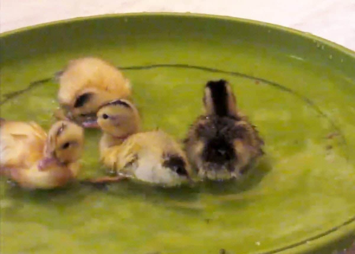 This cute video shows a brood of ducklings taking to the water for the first time - in an upturned plant saucer.  See SWNS story SWDUCKS.  The clip captures the incredible natural instincts of the birds after they were hatched as part of a school educational programme.  Despite not having their mother to follow, the youngsters are drawn to a small upturned plant saucer bought at Wilko.  The chicks are visibly excited by the water and nervously run around the saucer before finally plucking up the courage to dive in.  IT consultant Dave Stovell, 51, shot the footage at his home in Chippenham, Wilts., where the eggs were incubated as part of the Hatching for Schools project.