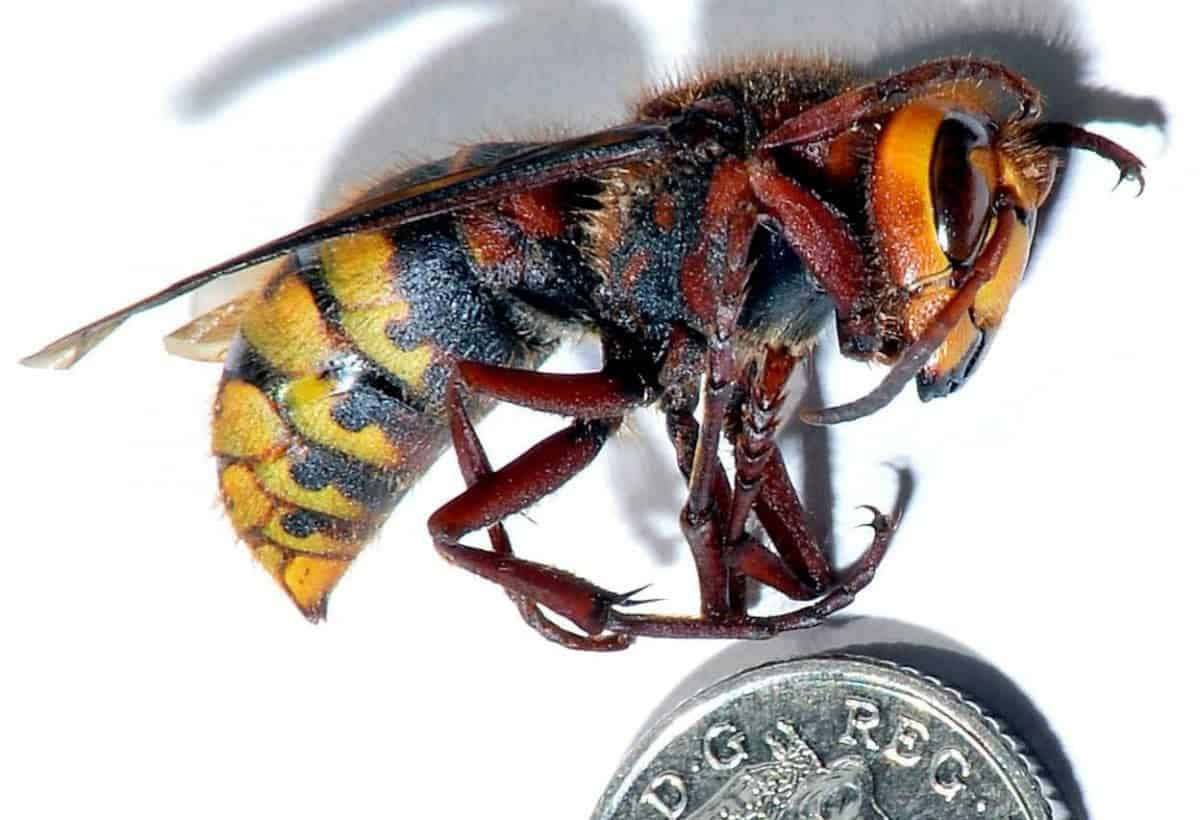 A file photo of an Asian Hornet. See SWNS story SWHORNET; A new colony of Asian Hornets has been found in the Channel Islands - fuelling fears for the UK's native bee population. The invasive insect has reappeared on Jersey less than a year after they were first spotted on nearby Alderney. A colony - believed to have contained 6,000 insects - was discovered last week in a shed in Fliquet on Jersey and quickly exterminated by beekeepers. But experts now face a race against time to control the spreading of the Asian Hornets amid fears that secondary nests may have already been established.