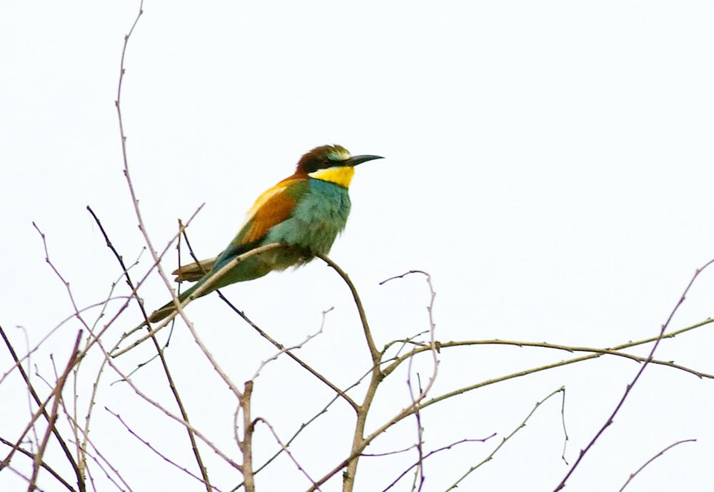 The Bee-Eaters at the Cemex quarry, in East Leake, Nottinghamshire.  See NTI story NTIBIRD.  Thousands of twitchers flocked to a village quarry to try and get a glimpse of a rare bird that hadn't been seen for almost 50 years.  Bird watchers came out in their numbers when they descended on the site in order to get a sighting of the European bee-eater.  The yellow, blue and brown beauty is more often found in southern Europe and North Africa, and the last time one was spotted in Nottinghamshire was back in 1970.  But a total of seven birds have been spotted at the Cemex quarry on Lings Farm in East Leake, Notts., with the first being seen on Sunday (25/6).  The sighting got the bird watching community all in a flutter and prompted up to 1000 enthusiasts in the week to make their way to the site.  European bee-eaters have only been known to nest six times in Britain since 1920, but are becoming more common in recent years due to climate change.