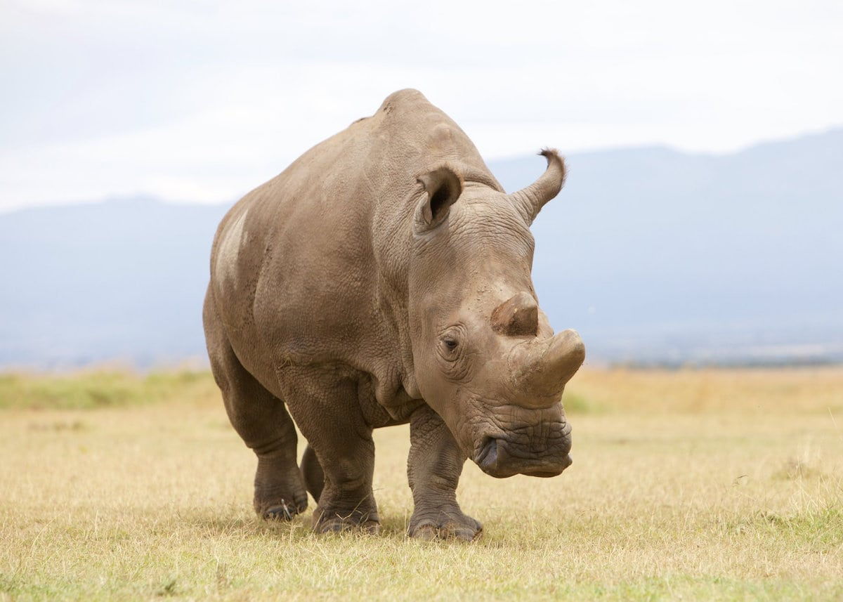 Sudan, the legendary male northern white Rhino who has died See SWNS story SWRHINO. It is with great sadness that Ol Pejeta Conservancy and the Dvůr Králové Zoo announces that Sudan, the world's last male northern white rhino, age 45, died at Ol Pejeta Conservancy in Kenya on March 19th, 2018. Sudan was being treated for age-related complications that led to degenerative changes in muscles and bones combined with extensive skin wounds. His condition worsened significantly in the last 24 hours; he was unable to stand up and was suffering a great deal. The veterinary team from the Dvůr Králové Zoo, Ol Pejeta and Kenya Wildlife Service made the decision to euthanize him.