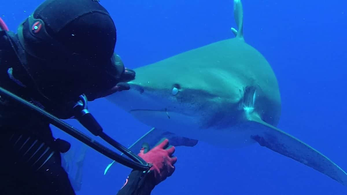 Leigh Cobb, 38, an ex-pat from Palm Beach, Florida removes a hook from a shark's mouth. See Masons copy MNHOOK: This incredible slow-motion video shows the moment when a brave diver pulled a hook from the mouth of a shark. The footage, taken on a conservation trip to the Bahamas, shows diver and marine biologist Leigh Cobb bait the oceanic white tip shark with a fish - before placing her left hand on the animal's nose and pulling out the hook with her right hand. The fearless diver - Leigh Cobb, 38, from Palm Beach, Florida - said that by placing her hand on the shark's nose it was momentarily hypnotised because all of a shark's senses are at the front of its face.