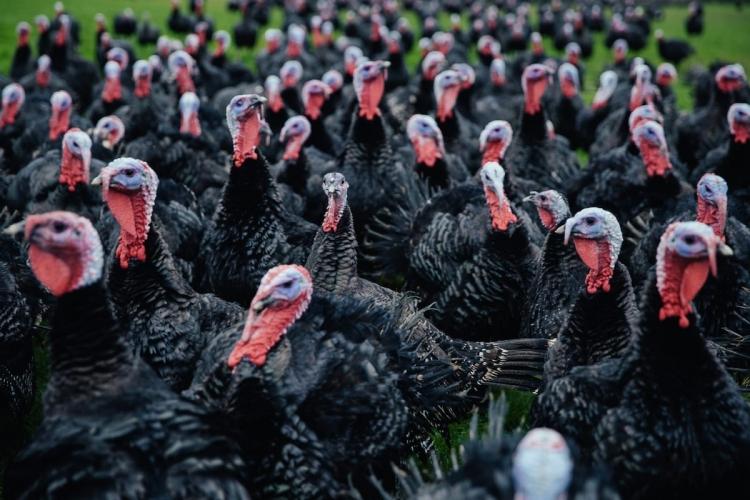 KellyBronze Wild Turkey | Photo: www.kellybronze.co.uk