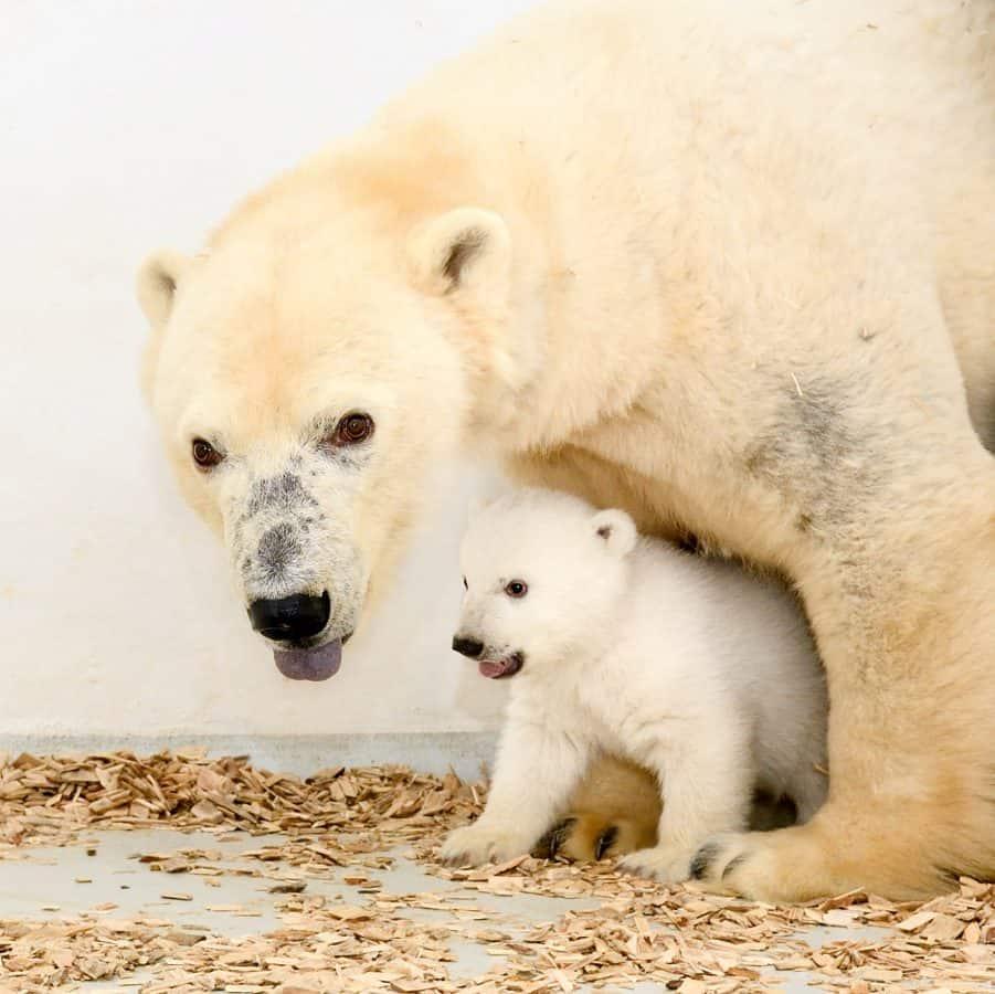 Polar bear & cub - Credit:SWNS