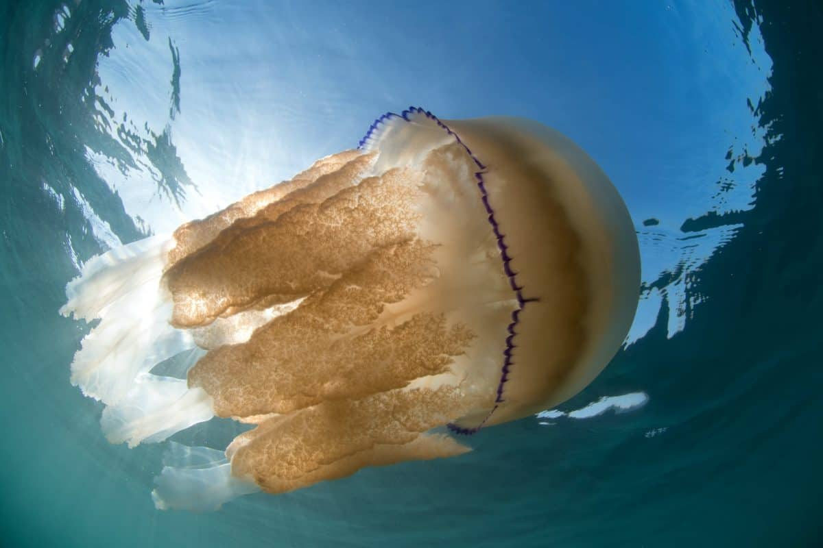 British jellyfish invasion (c) SWNS