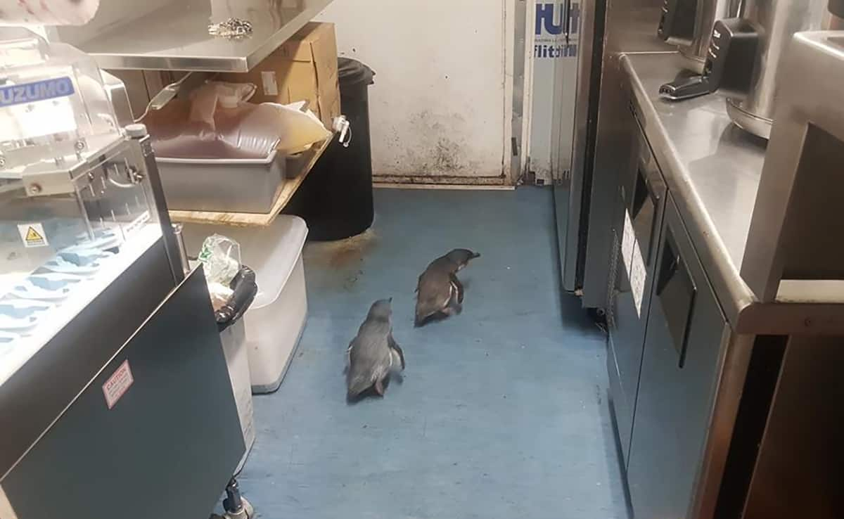 """In this July 15, 2019, photo, penguins make their way a sushi shop in Wellington, New Zealand. A pair of """"vagrant"""" blue penguins have been forcibly removed after waddling into a New Zealand sushi shop and refusing to leave. (Shawnee Kim via AP)"""