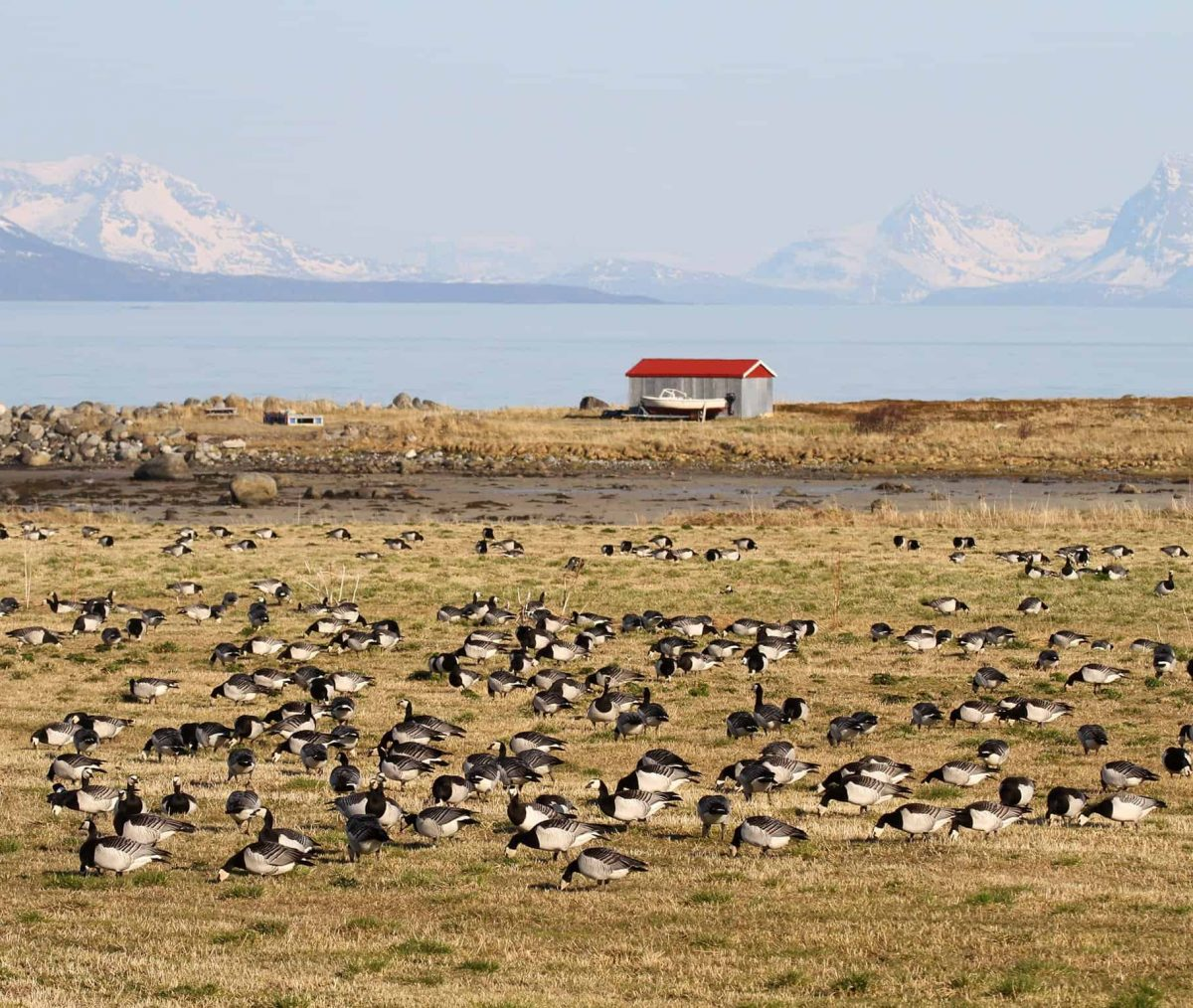 During the past 25 years a rapidly increasing proportion of barnacle geese switched to Vesterålen. See National News story NNgeese.Geese have changed their migration paths on leaving Britain due to climate change, reveals a long-term study. Researchers discovered that barnacle geese have shifted their migratory route within the last 25 years. The team concluded that individual geese have decided to change to the new route, and that other geese now learn the new habit from each other. The study, published in the journal Global Change Biology, is among the first to provide hard evidence that wild animals are inventing new traditions to cope with climate change.