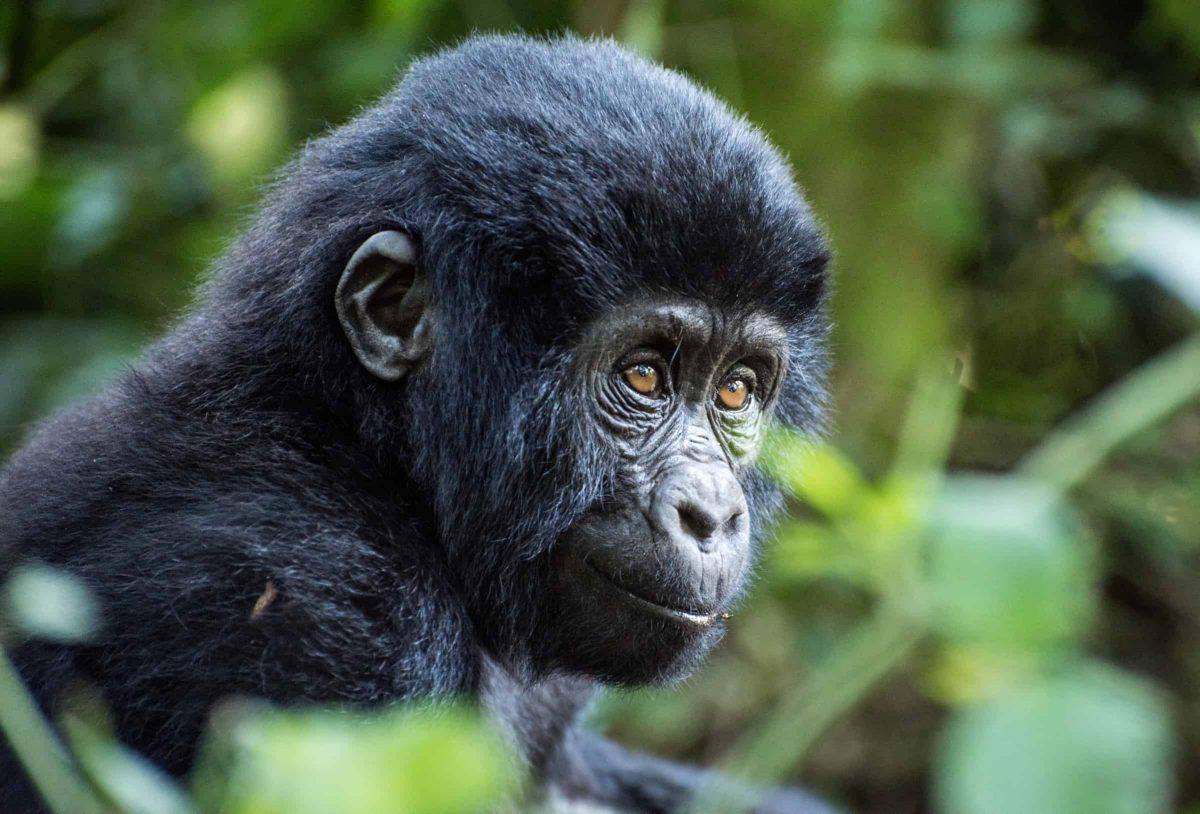 Infant mountain gorilla (Gorilla beringei beringei), Bwindi Impenetrable National Park, Uganda. Credit;PA