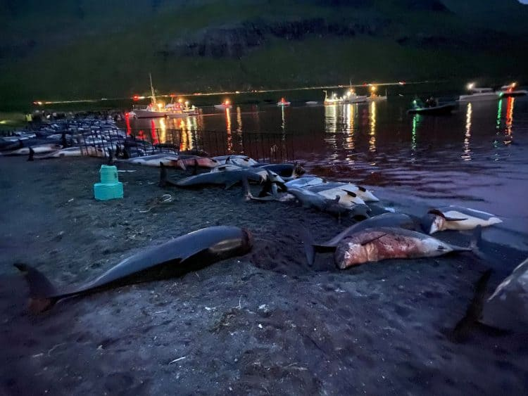 The graphic scene of hundreds of slaughtered dolphins in Skálafjörður on the Faroe Islands e Sided Dolphins were caught and killed. Credit;SWNS