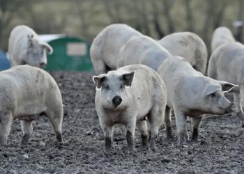 PIGS Pork